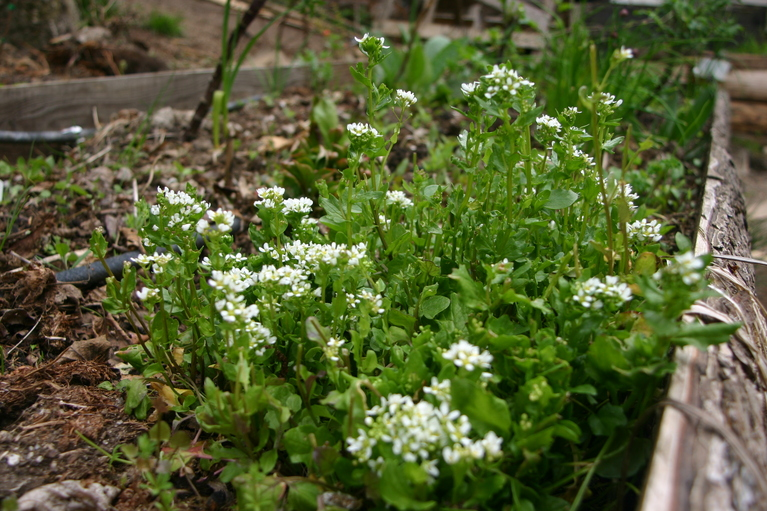 Steward community woodland photo gallery scurvy grass mightylinksfo