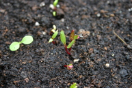 Beetroot seedling