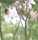 Bee on columbine, 9 June