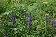 Bugle, a native perennial