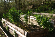 Raised bed with brassicas: purple sprouting broccoli, sutherland kale and ninestar broccoli